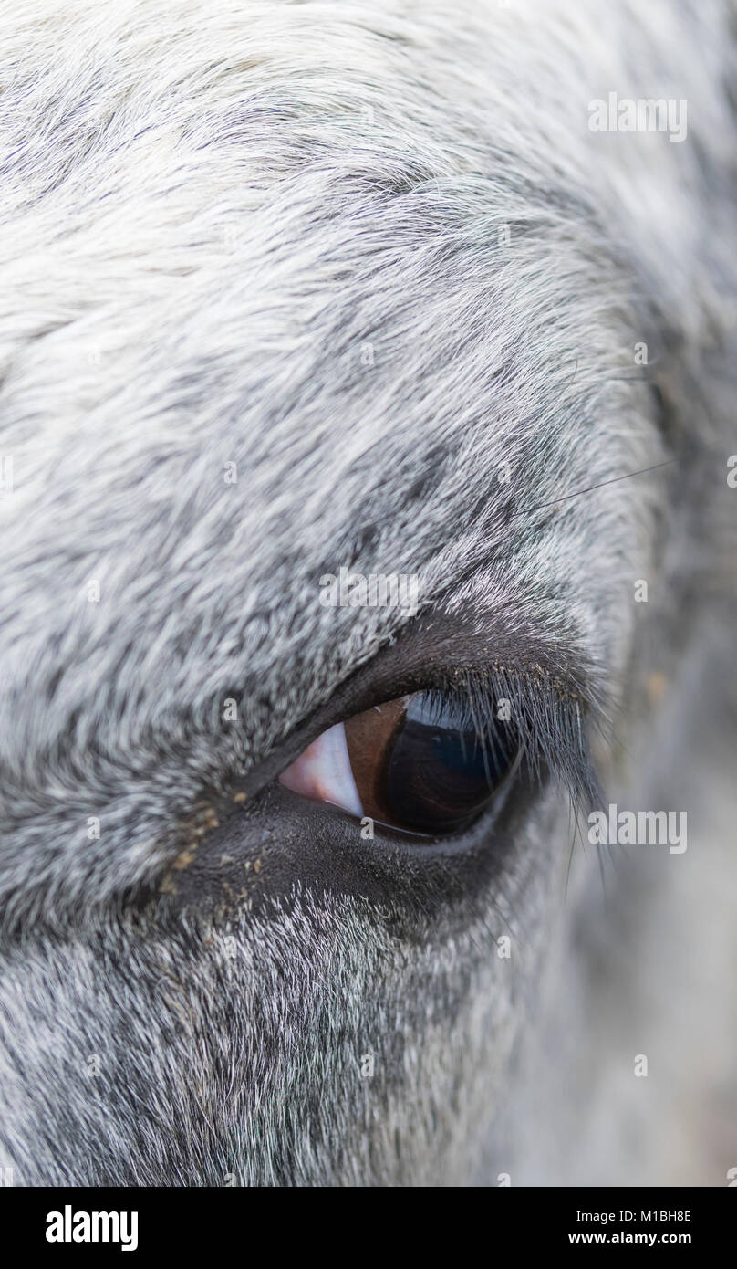 Closeup portrait of a cow's eye. - Stock Image