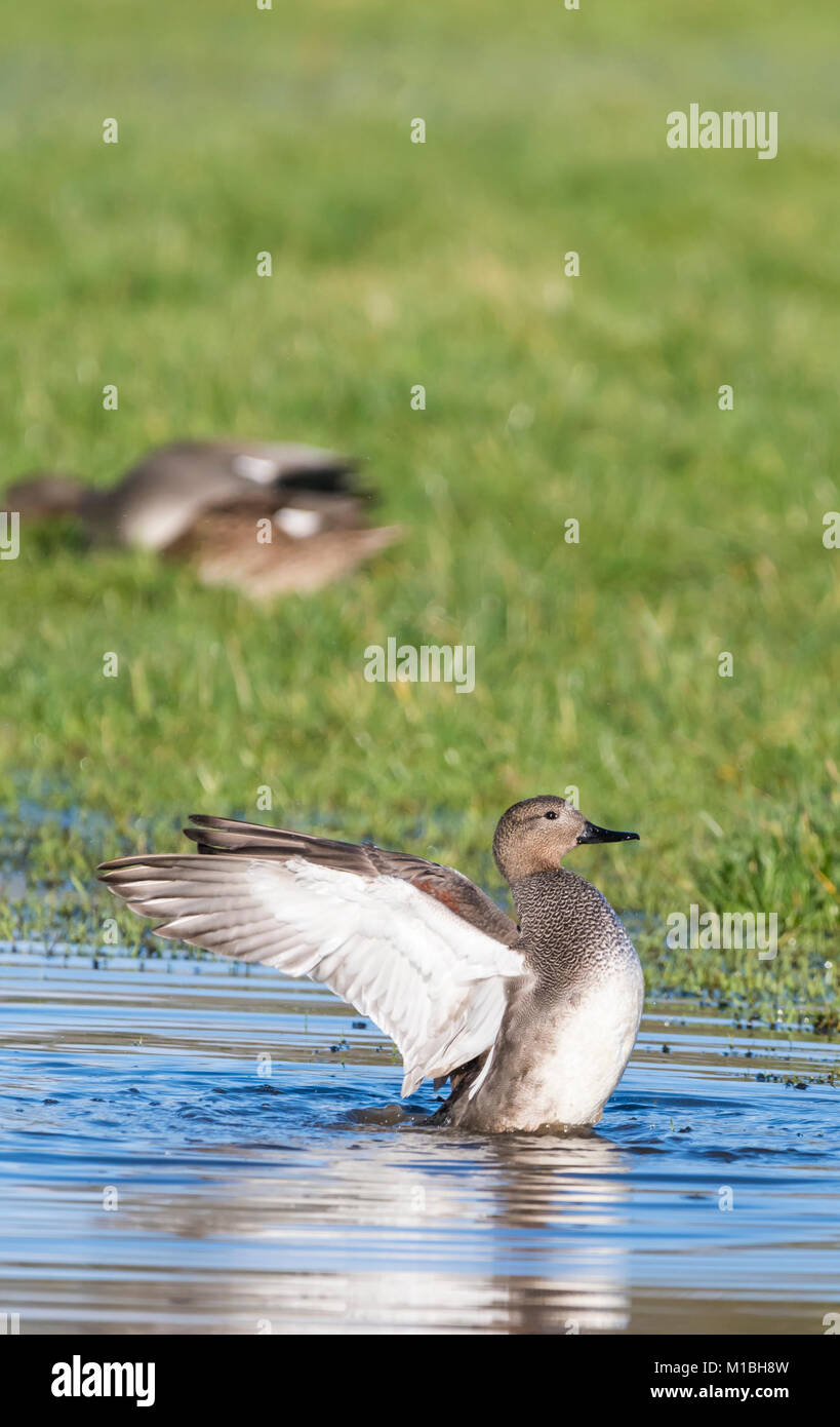Drake Gadwall Duck (Anas Strepera) in water in a flooded field stretching wings out in Winter in West Sussex, England, - Stock Image