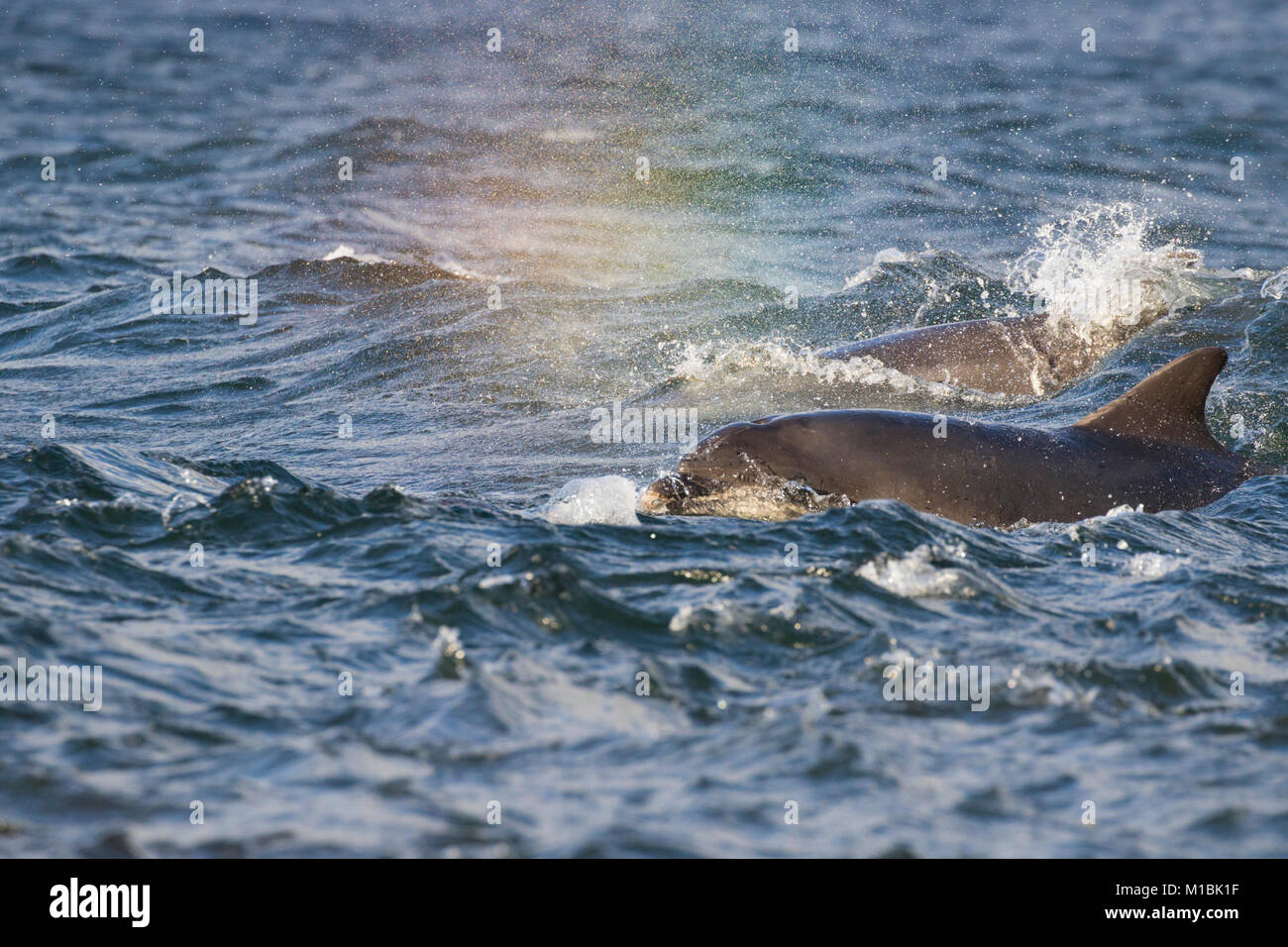 Pod of Bottlenose dolphins (Tursiops truncatus) surfacing in the Moray Firth, Chanonry Point, Scotland, UK Stock Photo