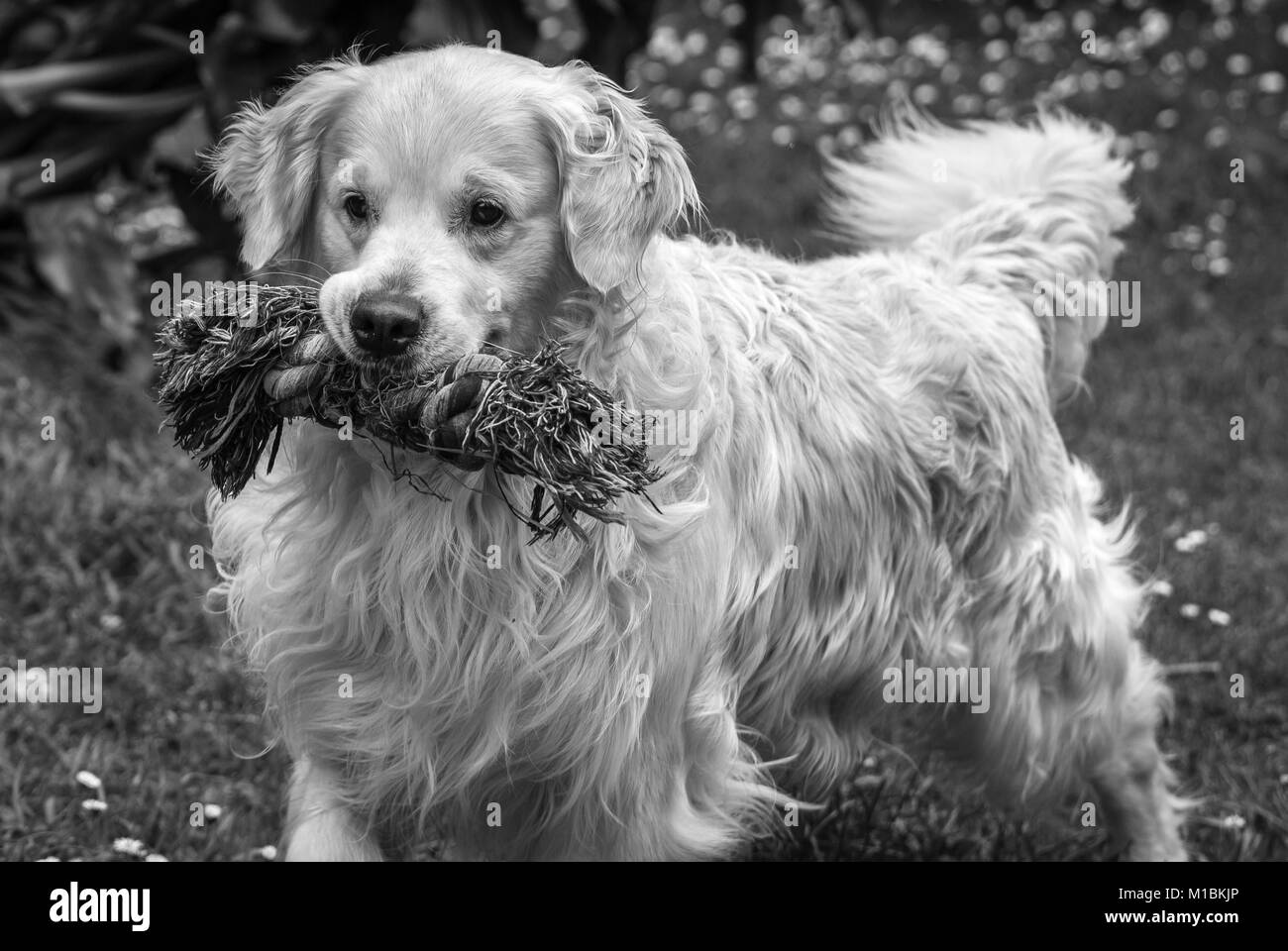 my dear and best friend, my golden retriever dog named Prince, with his favorite toy that never tires of biting Stock Photo