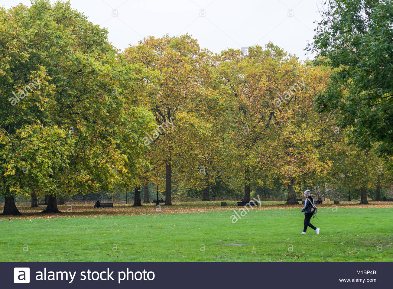 Trees starting change color at the start of autumn, Green Park, City ...
