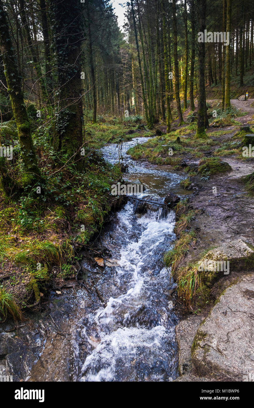 Cardinham Woods in Cornwall - a stream flowing through Cardinham Woods in Bodmin Cornwall. - Stock Image