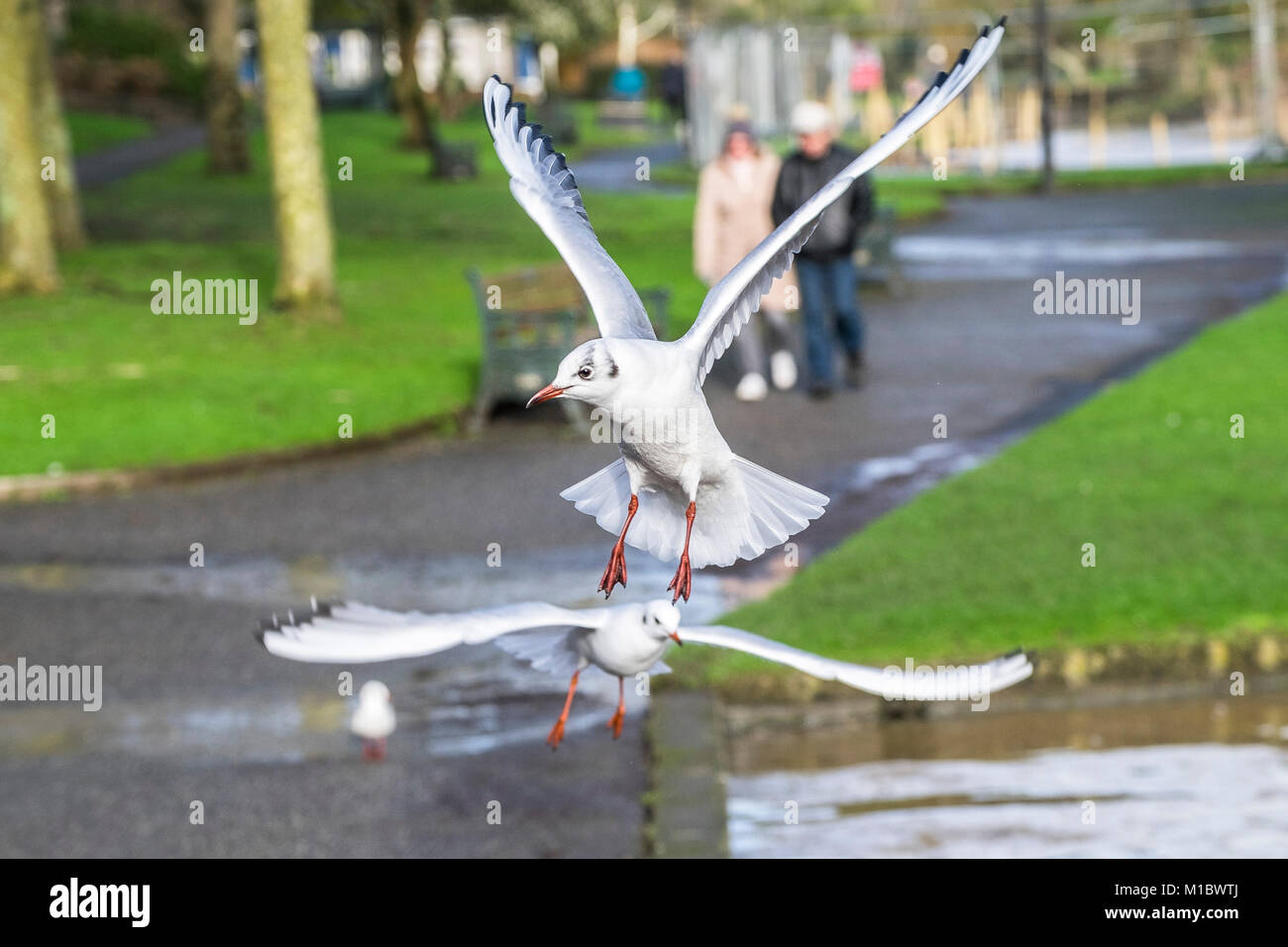 Seagulls Laridae flying in a park. - Stock Image