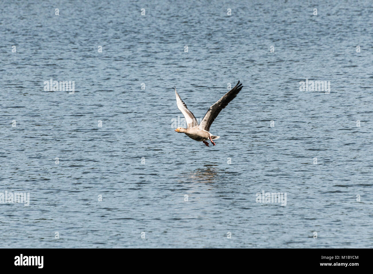 A greylag goose (Anser anser) flying low over a lake just after having taken off Stock Photo