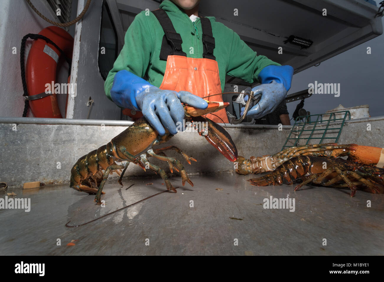 Banding lobster claws. Chebeague Island, Casco Bay, Maine - Stock Image