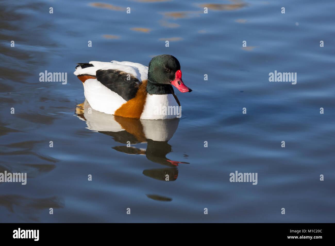 Shelduck, Tadorna tadorna, Wildfowl and Wetlands Trust, Slimbridge, Gloucestershire, UK. - Stock Image
