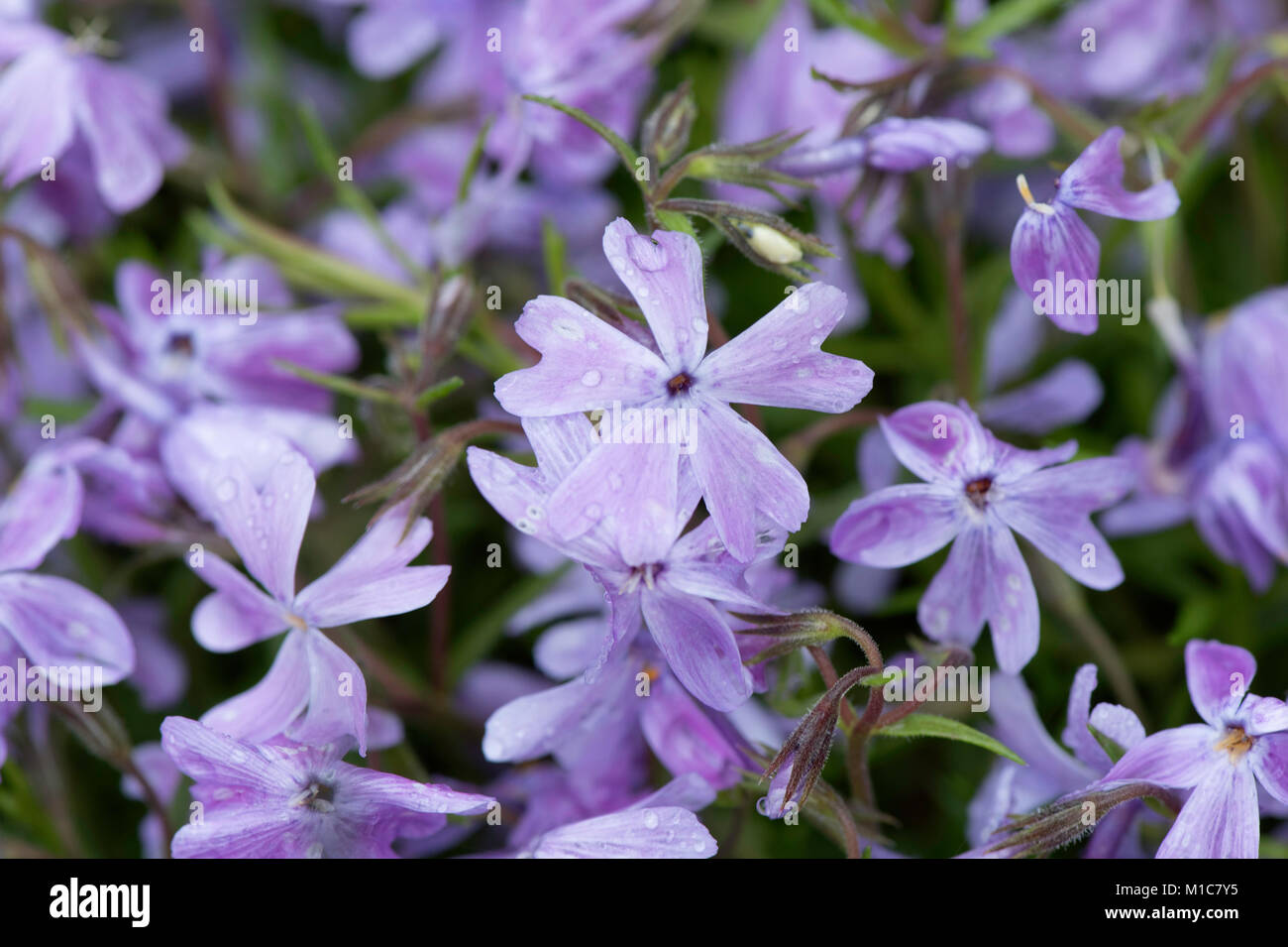 Close-up of blue woodland phlox - Stock Image