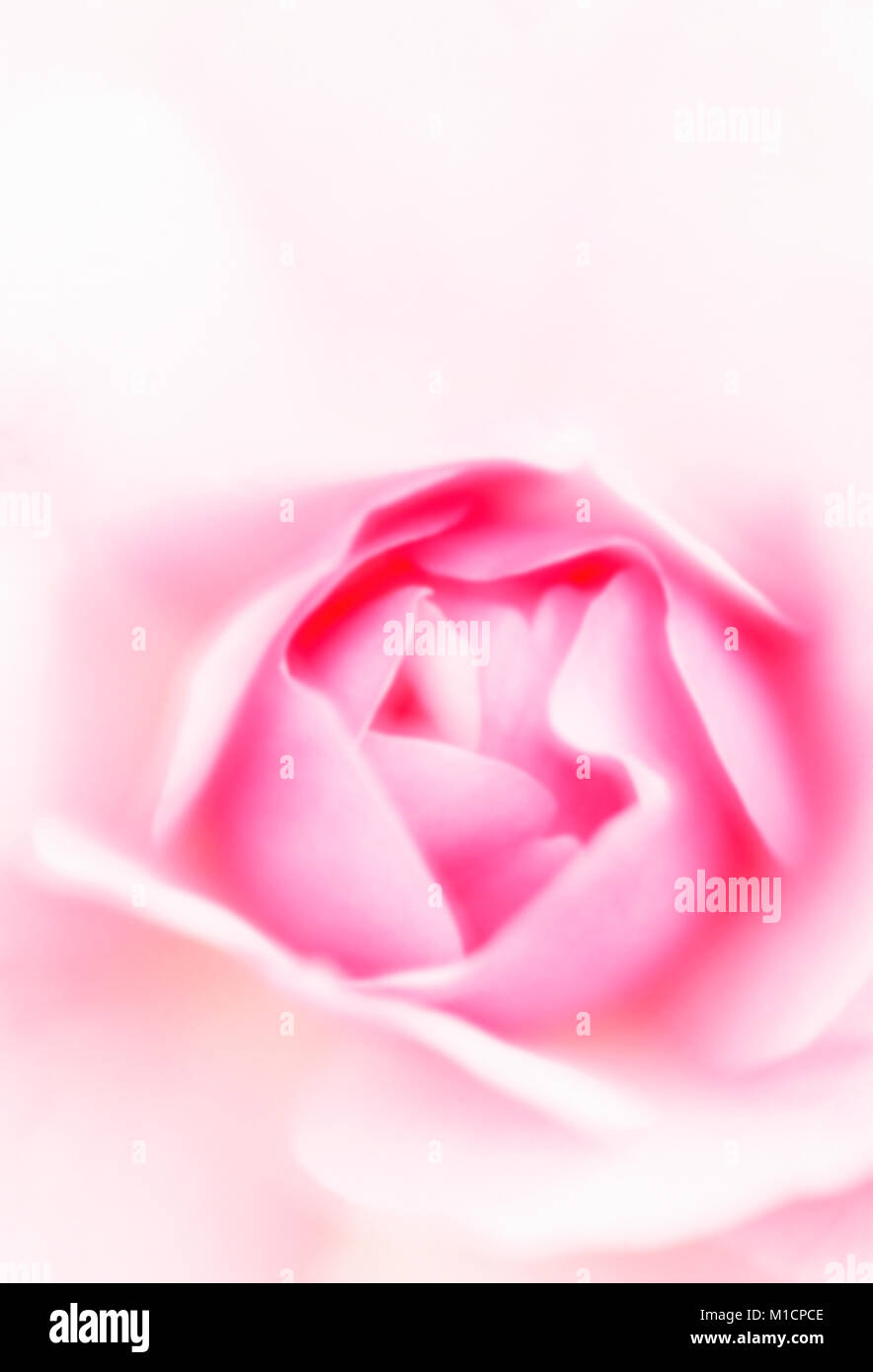 Busy Lizzie, blossom detail / (Impatiens walleriana)   Fleissiges Lieschen, Bluetendetail / (Impatiens walleriana) Stock Photo