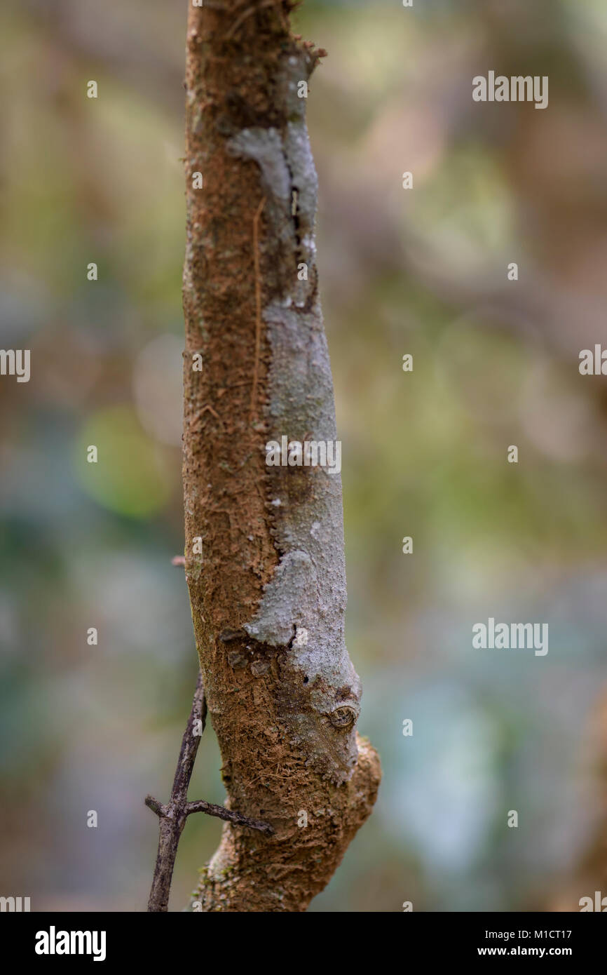 Southern Leaf-tail Gecko - Uroplatus sikorae, rain forest, Madagascar. Rare well masked gecko hidden on the tree - Stock Image