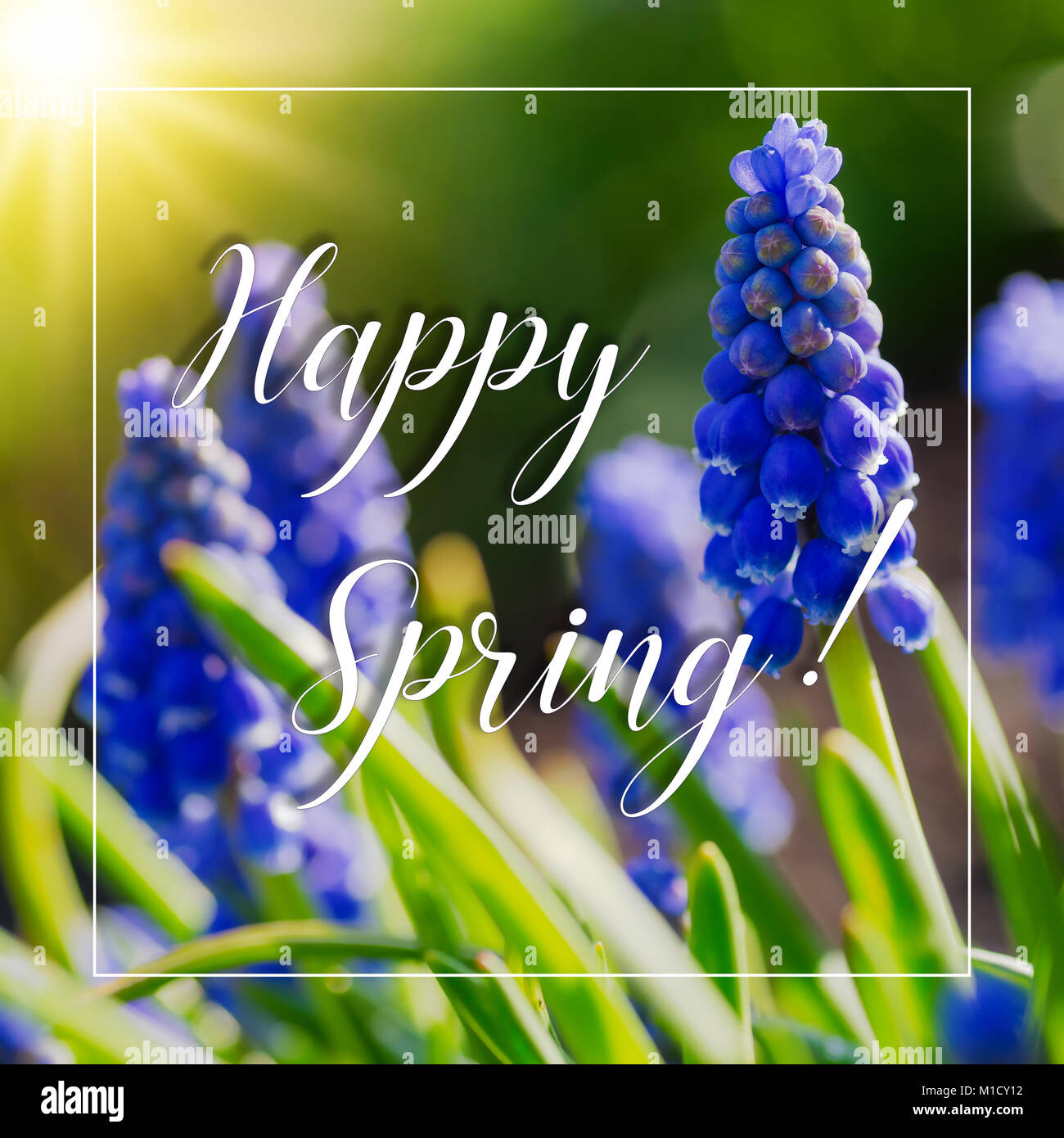 Inspirational quote 'Happy Spring' with grape hyacinth flowers. - Stock Image