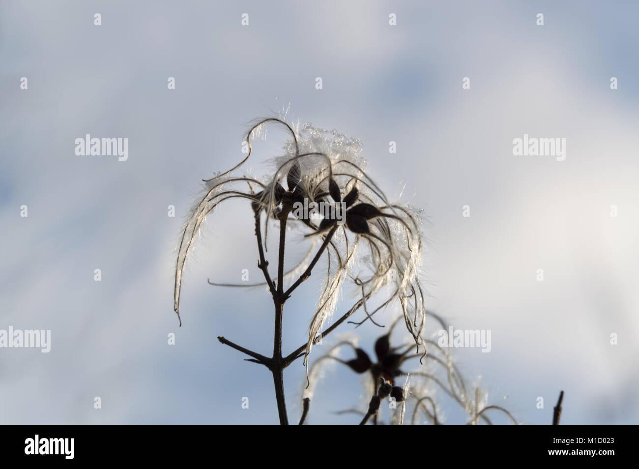 dead flower of graybeard  slightly covered under ice - Stock Image