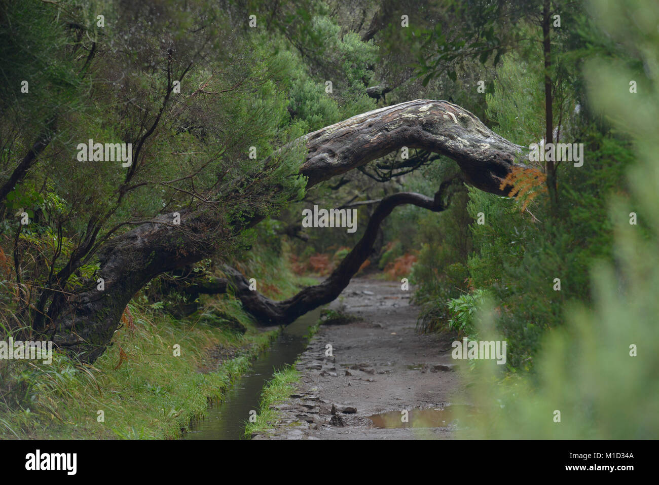 Hiking Trail, Rabacal-Tal, Central Mountains, Madeira, Portugal, Wanderweg, Zentralgebirge - Stock Image