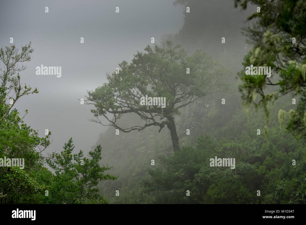 Rain Forest, Rabacal-Tal, Central Mountains, Madeira, Portugal, Regenwald, Zentralgebirge - Stock Image