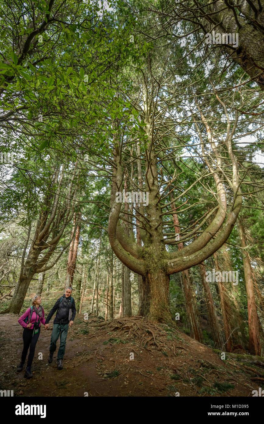 Hiking Trail, QUEIMADAS, Central Mountains, Madeira, Portugal, Wanderweg, Queimadas, Zentralgebirge - Stock Image