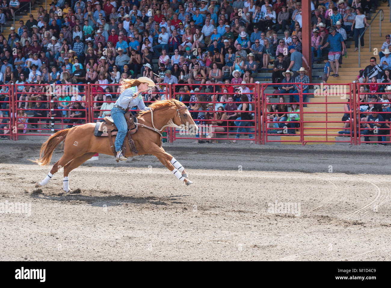 A barrel racing competitor urges her horse to the finish at the 90th Williams Lake Stampede, one of the largest - Stock Image