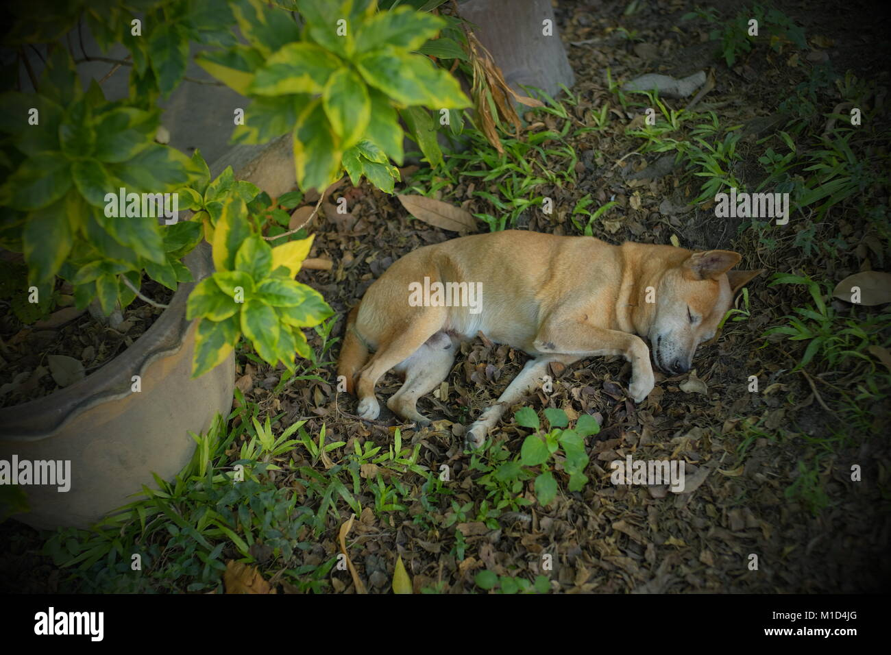 A dog sleeping in a temple in Qiang Mai, Thailand. - Stock Image
