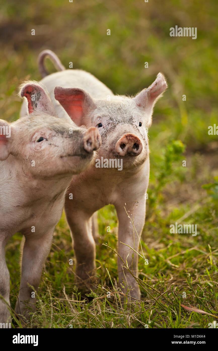 The Netherlands, Kortenhoef, Pigs. Piglets. - Stock Image