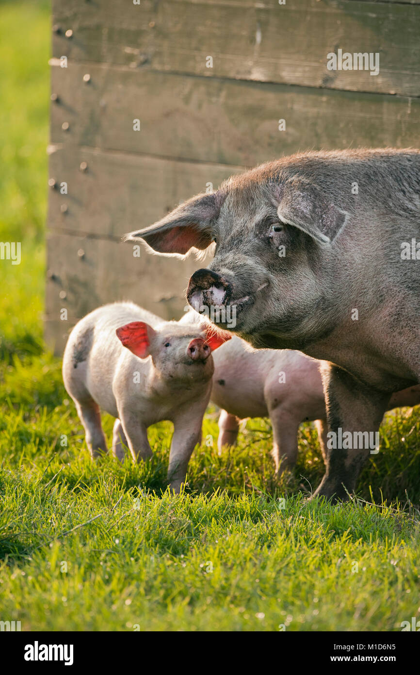 The Netherlands, Kortenhoef, Piglets and sow. - Stock Image