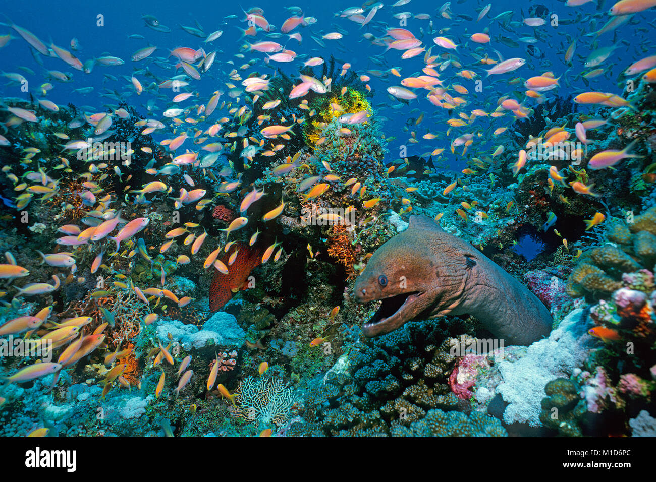 Giant moray (Gymnothorax javanicus) surrounded of Jewel fairy basslets (Pseudanthias squamipinnis) at a coral reef, - Stock Image