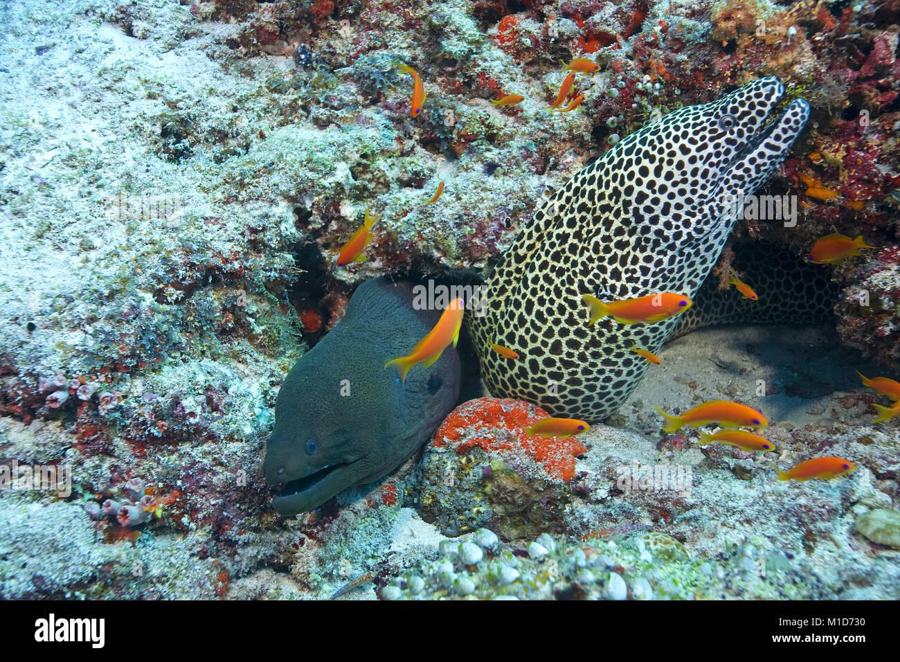 Living community, Giant moray (Gymnothorax javanicus) and Honeycomb moray (Gymnothorax favagineus), Maldives islands, Stock Photo