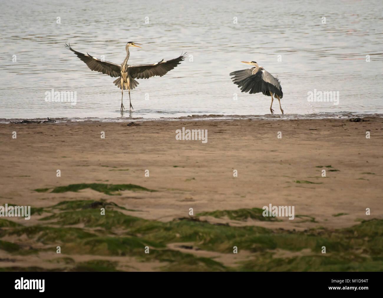 Two Grey herons, Ardea cinerea, squabbling over fishing rights, Wyre estuary, Lancashire, England, United Kingdom - Stock Image