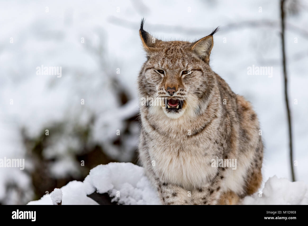 Eurasian Lynx, Lynx lynnx, in the snow, yawning - Stock Image