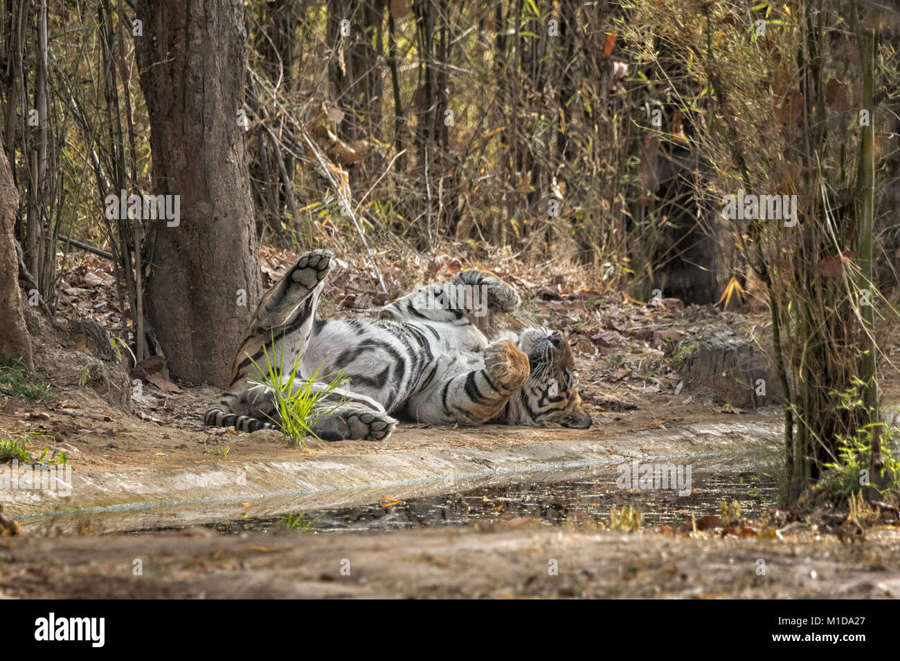 Wild, adult male Bengal Tiger, Panthera tigris tigris, sleeping, relaxing on his back, showing belly and scrotum, - Stock Image