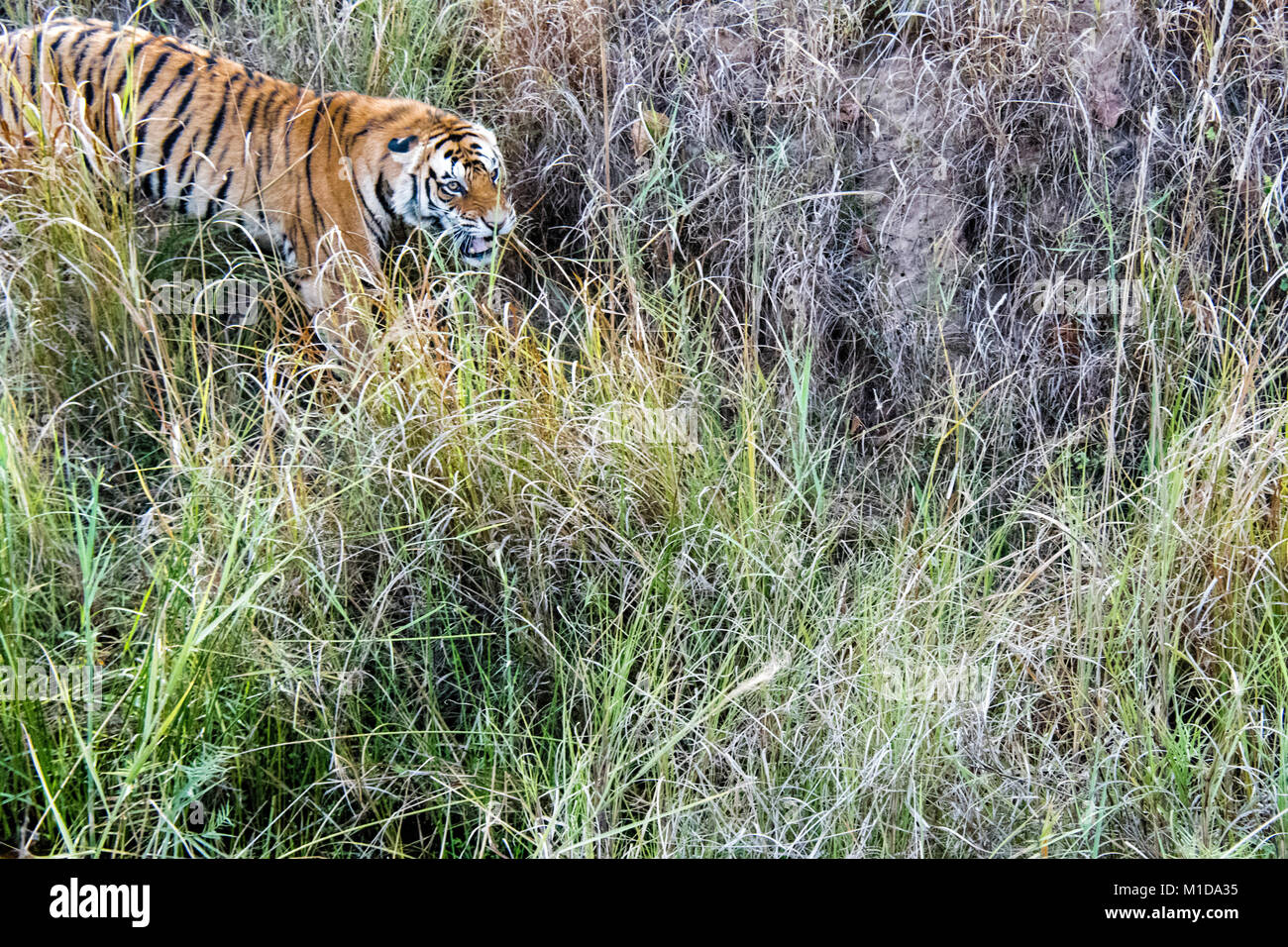 Wild Bengal Tiger, Panthera tigris tigris, snarling, attacking in Bandhavgarh Tiger Reserve, Madhya Pradesh, India - Stock Image