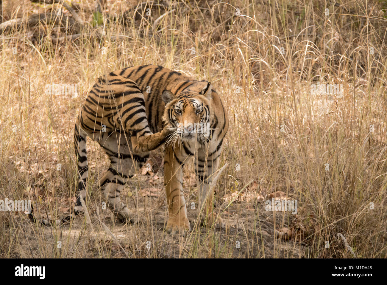 Wild, two year old cub, juvenile Bengal Tiger, Panthera tigris tigris, scratching with hind leg, Bandhavgarh National - Stock Image