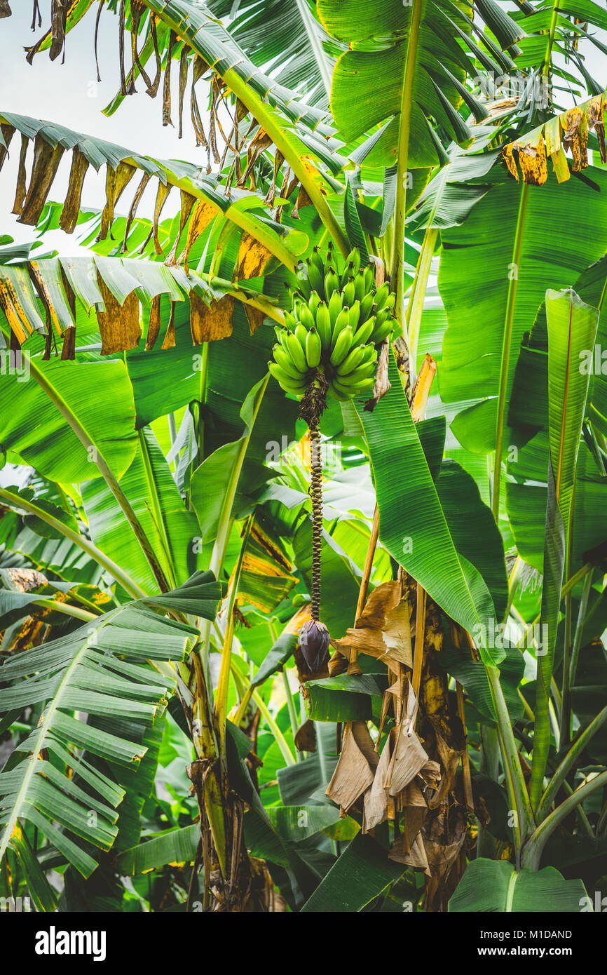 Banana palm tree on the trakking route in Paul valley on Santo Antao, Cape Verde - Stock Image