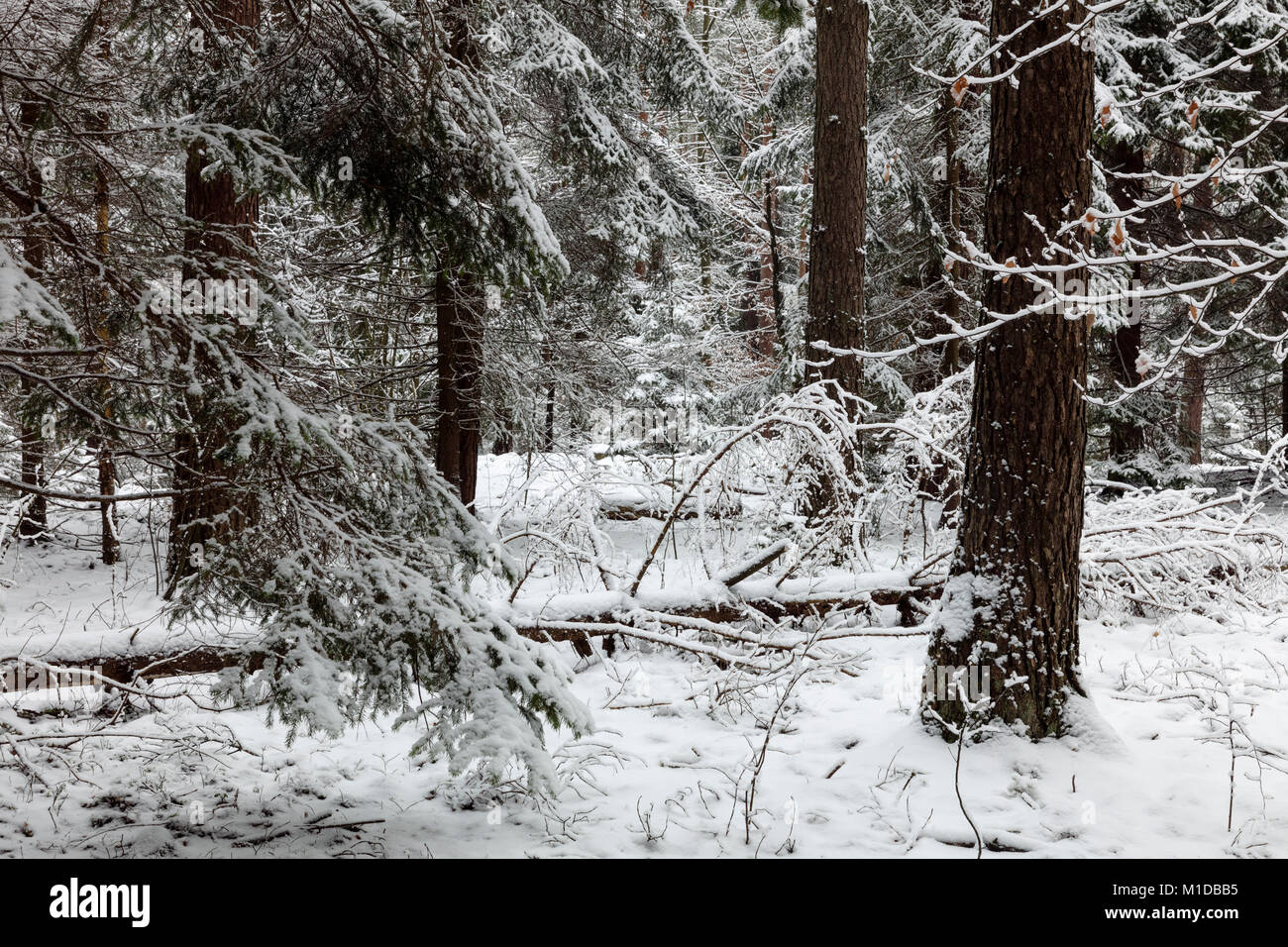 The Borecka Forest, Poland - Stock Image