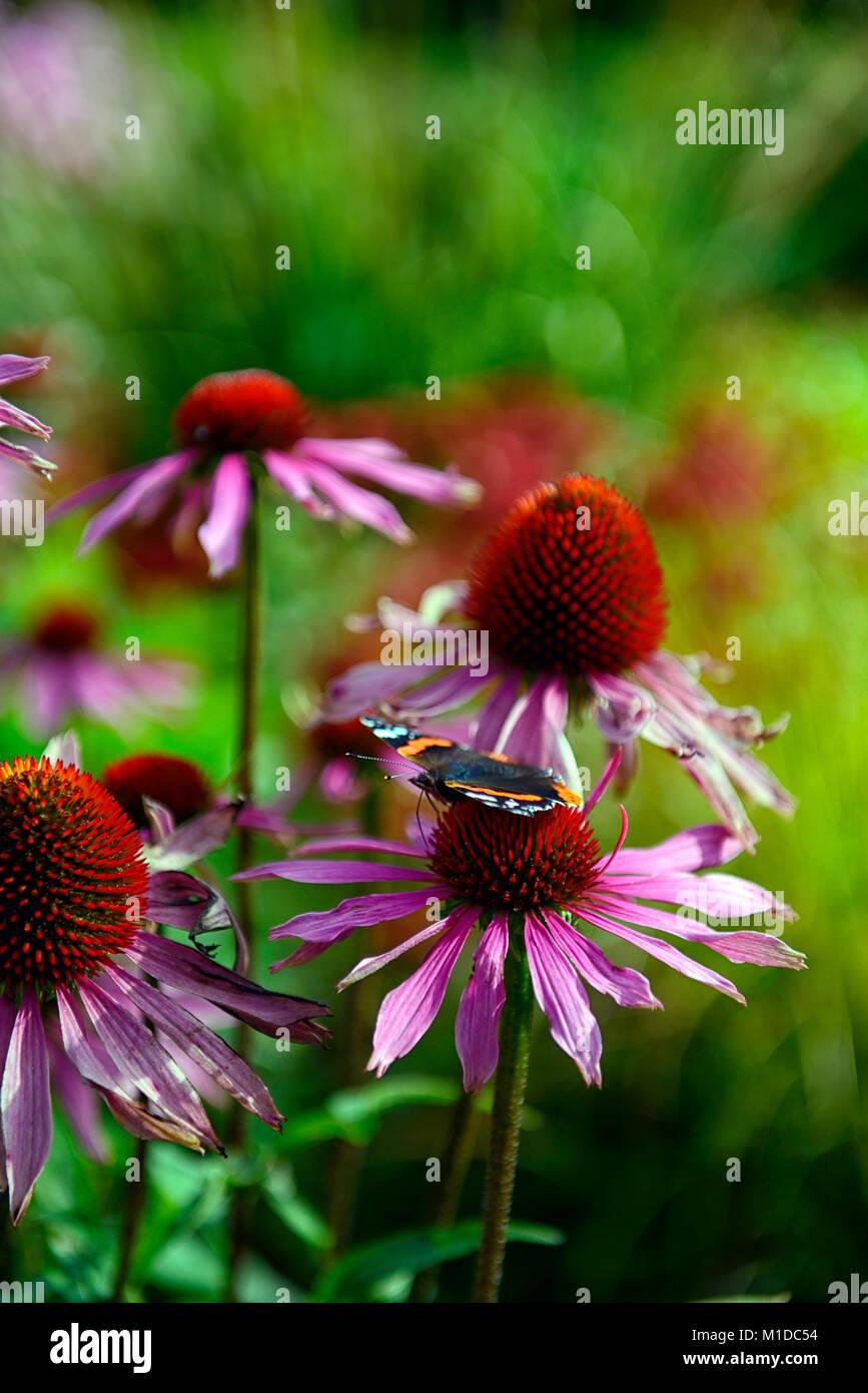 red admiral butterfly,Vanessa atalanta,echinacea purpurea,purple coneflower,insect friendly,garden,gardens,gardening,RM - Stock Image