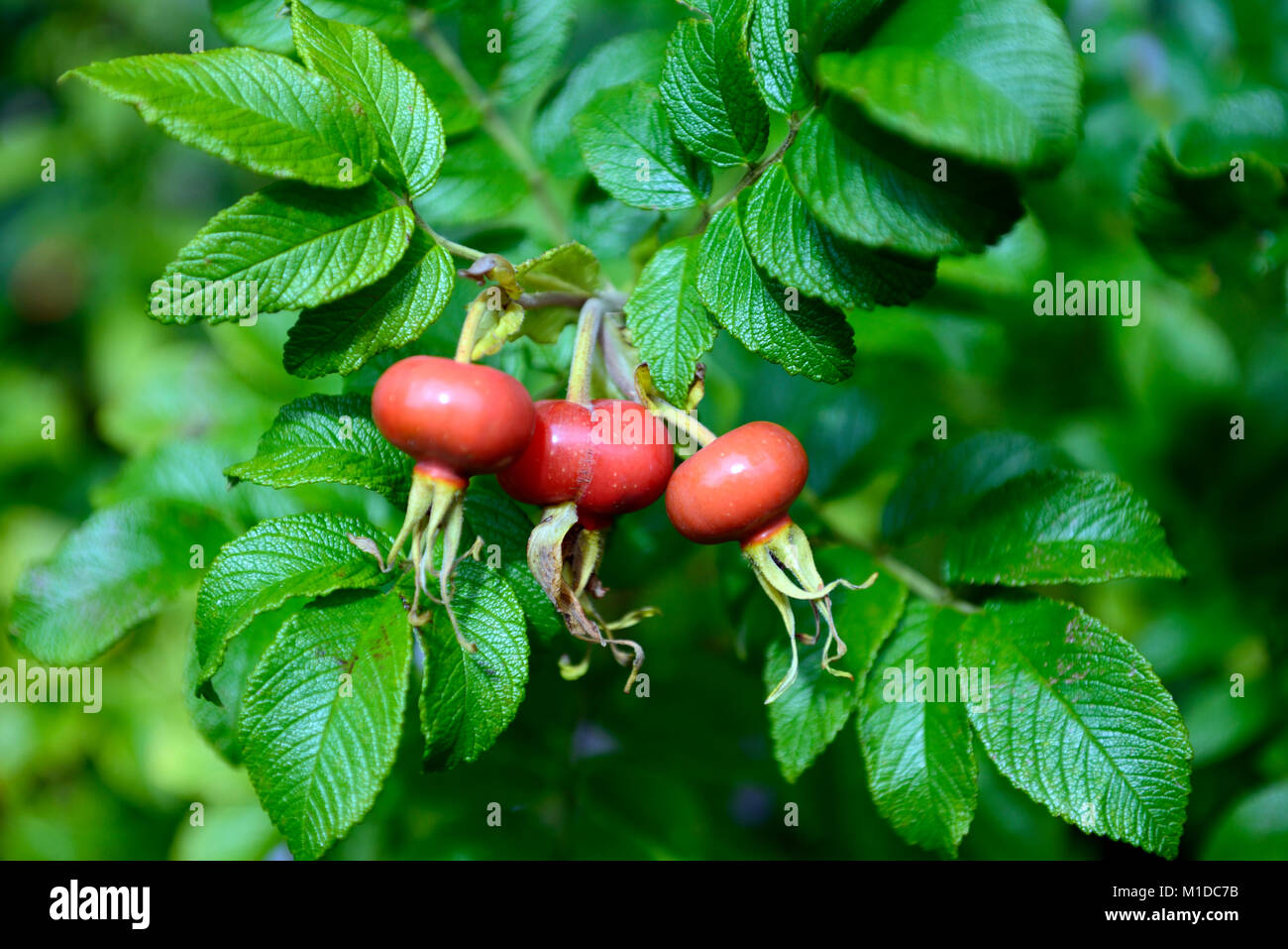 rose hip, rose hips,rose haw, rose hep,rosehips,accessory fruit,red,bright red,fruit,fruits,fruiting body,red,pollinated - Stock Image