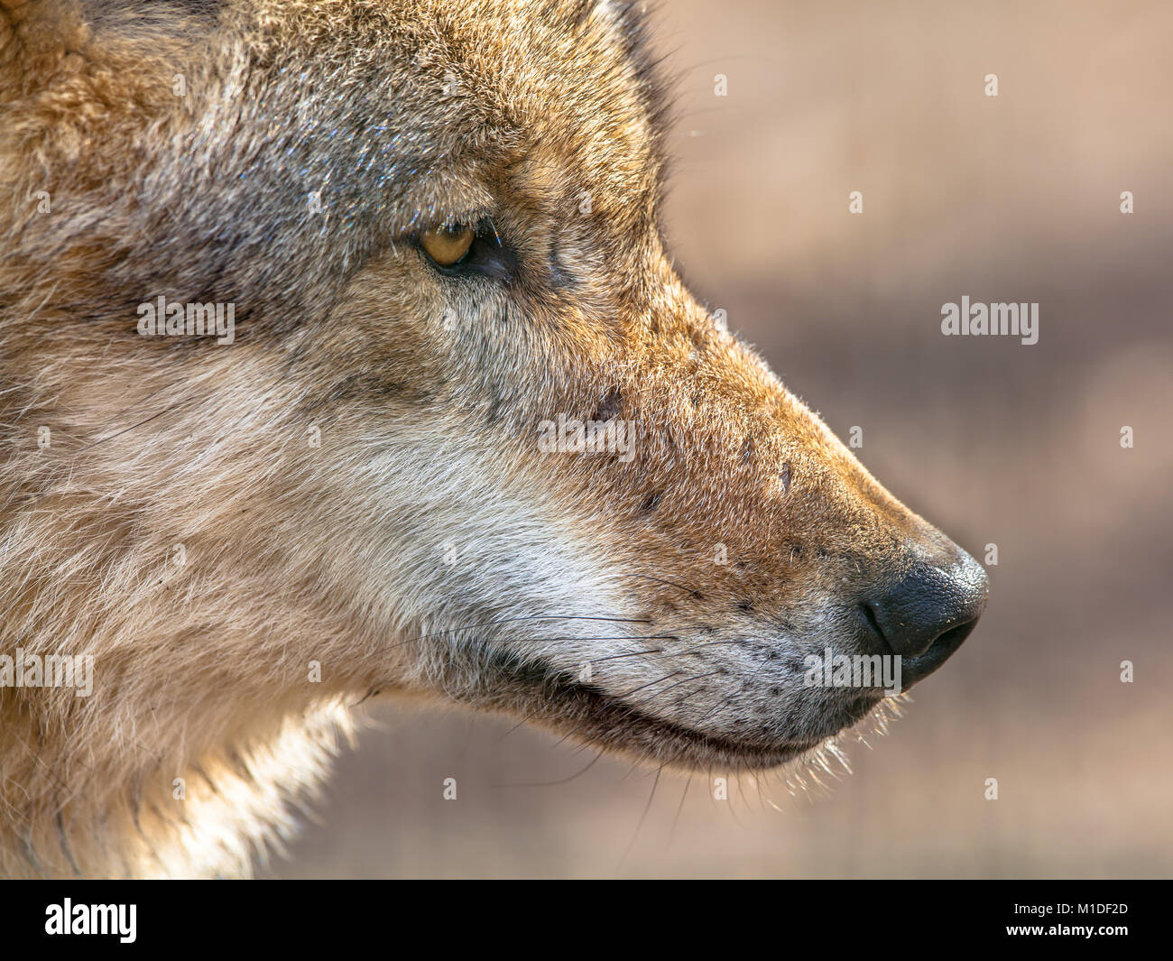 Head of Eurasian Gray Wolf (Canis lupus lupus). It is the most specialised member of the genus Canis, its more gregarious - Stock Image