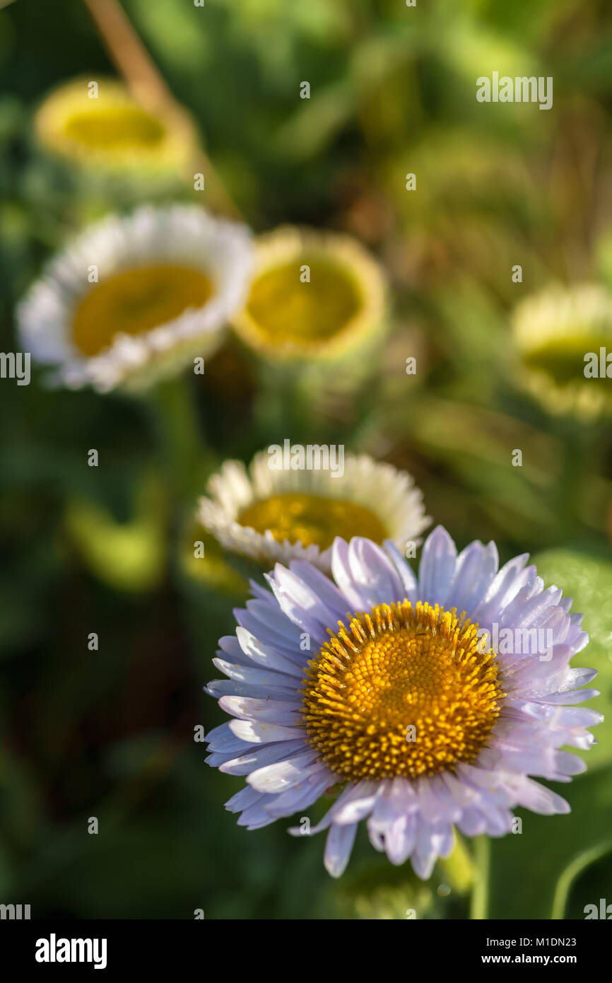 Seaside daisies (Erigeron glaucus) bloom in early spring, Monterey, California, United States. Stock Photo