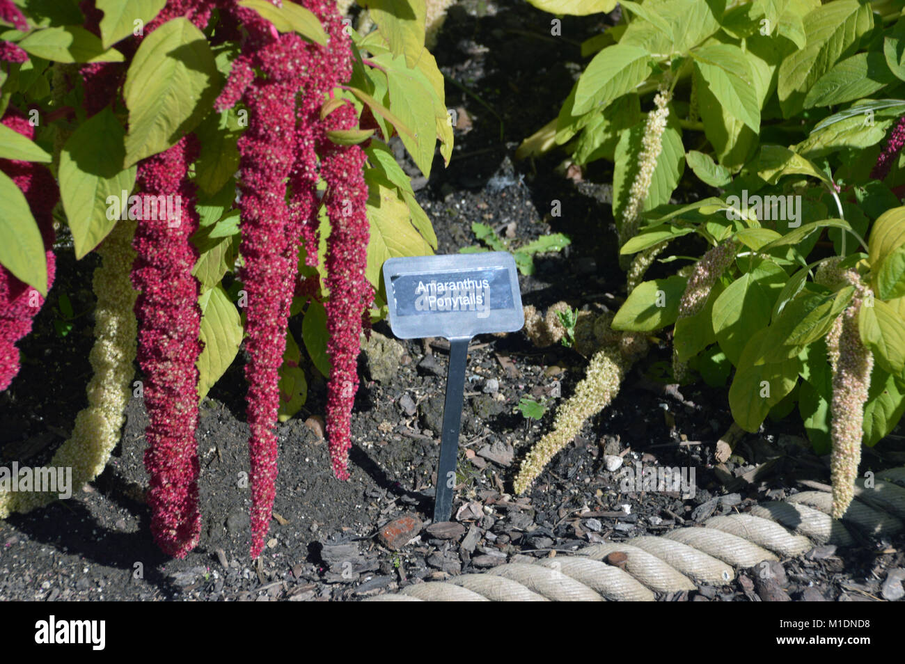 Red & Green Amaranthus caudatus 'Pony Tails' Flowers (Love-lies-bleeding) on Display in a Border at - Stock Image