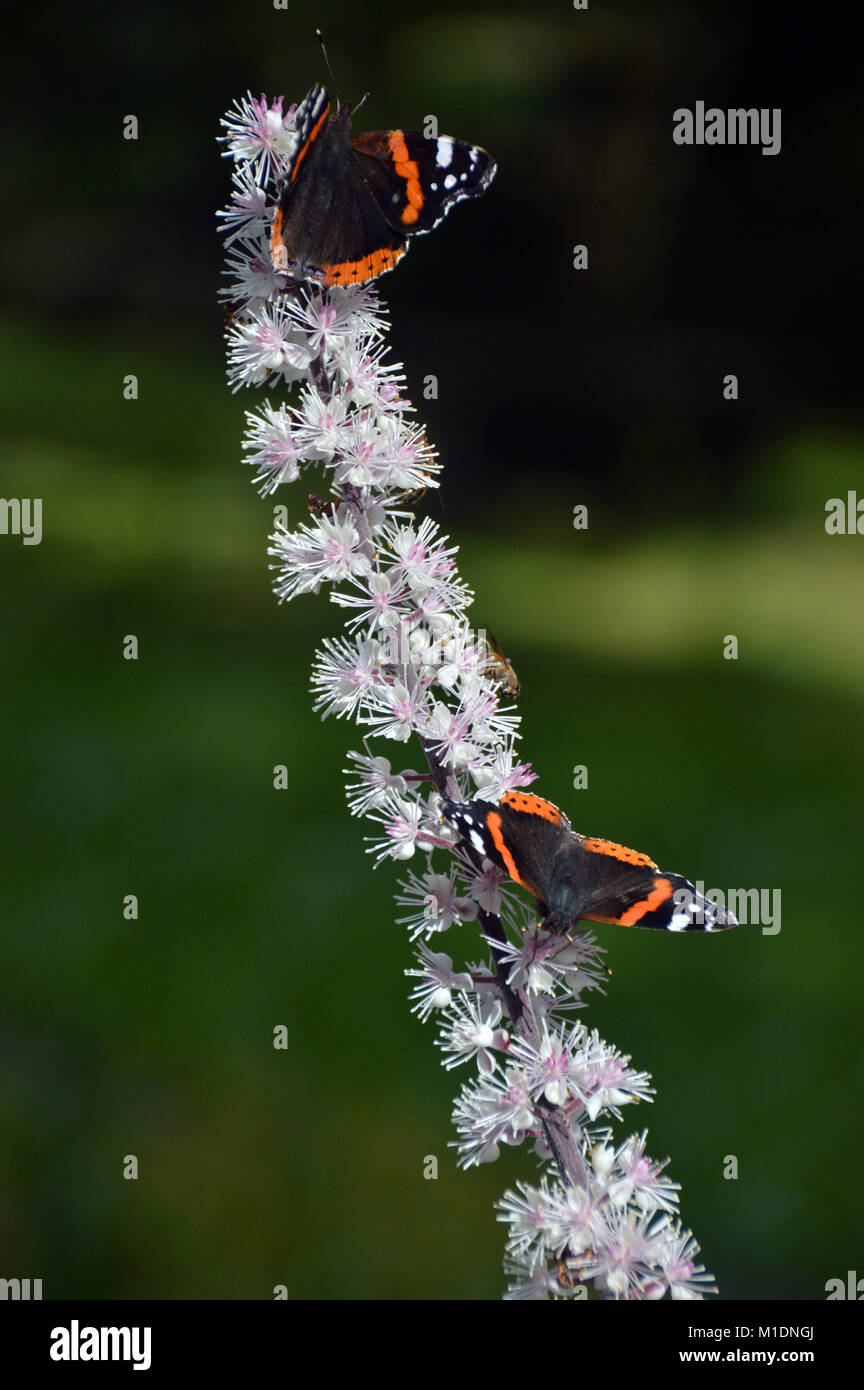 Pair of Red admiral Butterflies (Vanessa atalanta) on Actaea simplex (Atropurpurea Group) Flower at RHS Garden, - Stock Image