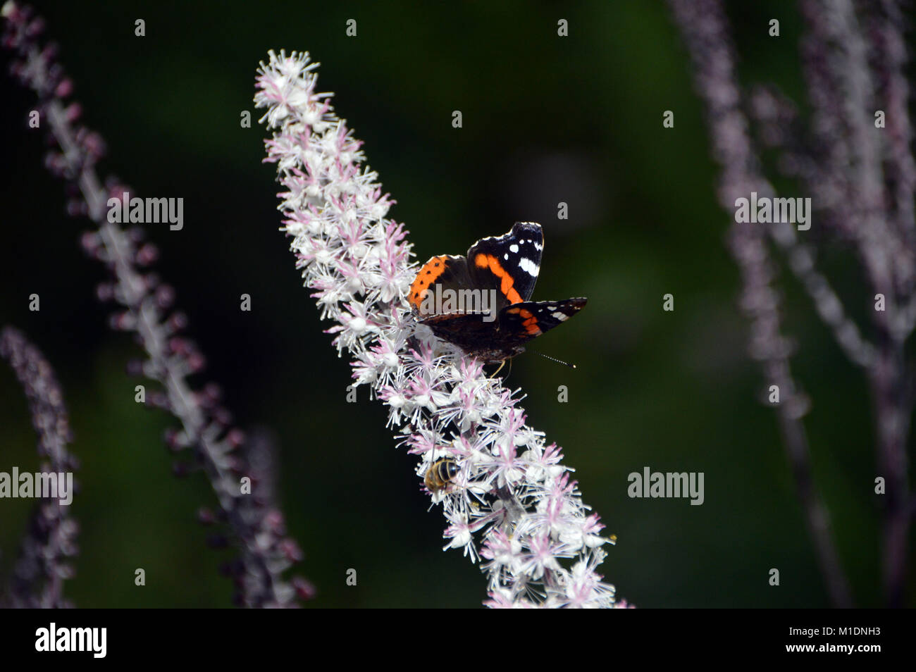 Single Red admiral Butterfly (Vanessa atalanta) on Actaea simplex (Atropurpurea Group) Flower at RHS Garden, Harlow Stock Photo