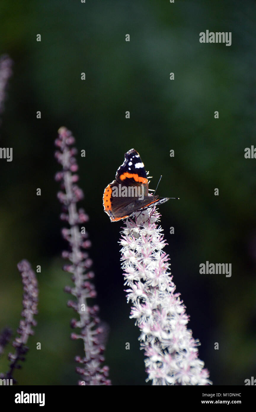 Single Red admiral Butterfly (Vanessa atalanta) on Actaea simplex (Atropurpurea Group) Flower at RHS Garden, Harlow - Stock Image