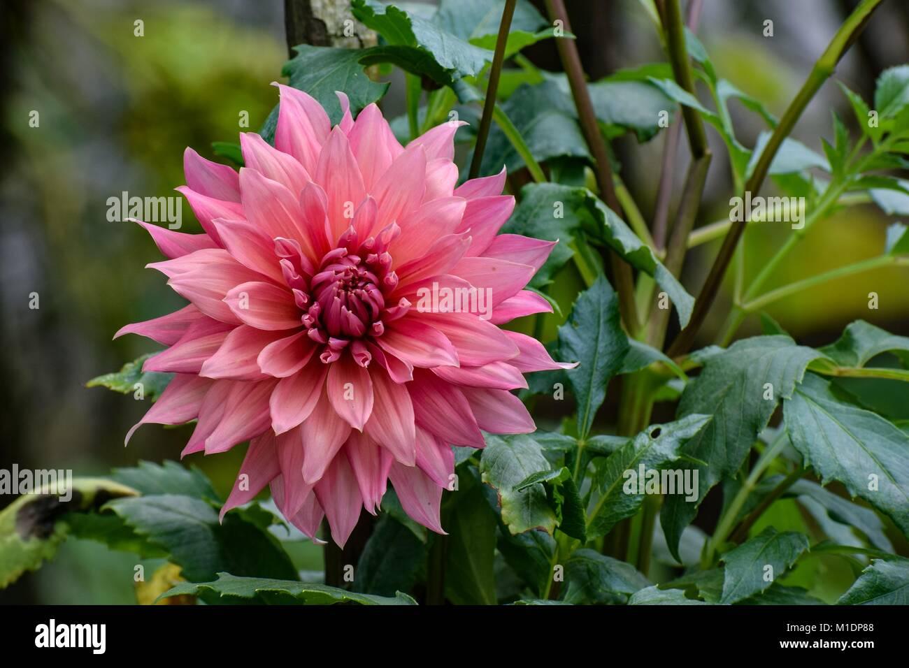 India Dahlia Flower Stock Photos India Dahlia Flower Stock Images