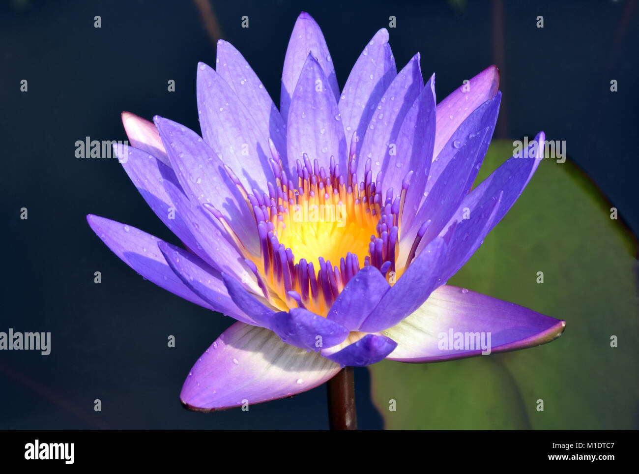 Vietnamese lotus flowers stock photos vietnamese lotus flowers purple vietnamese lotus flower stock image mightylinksfo