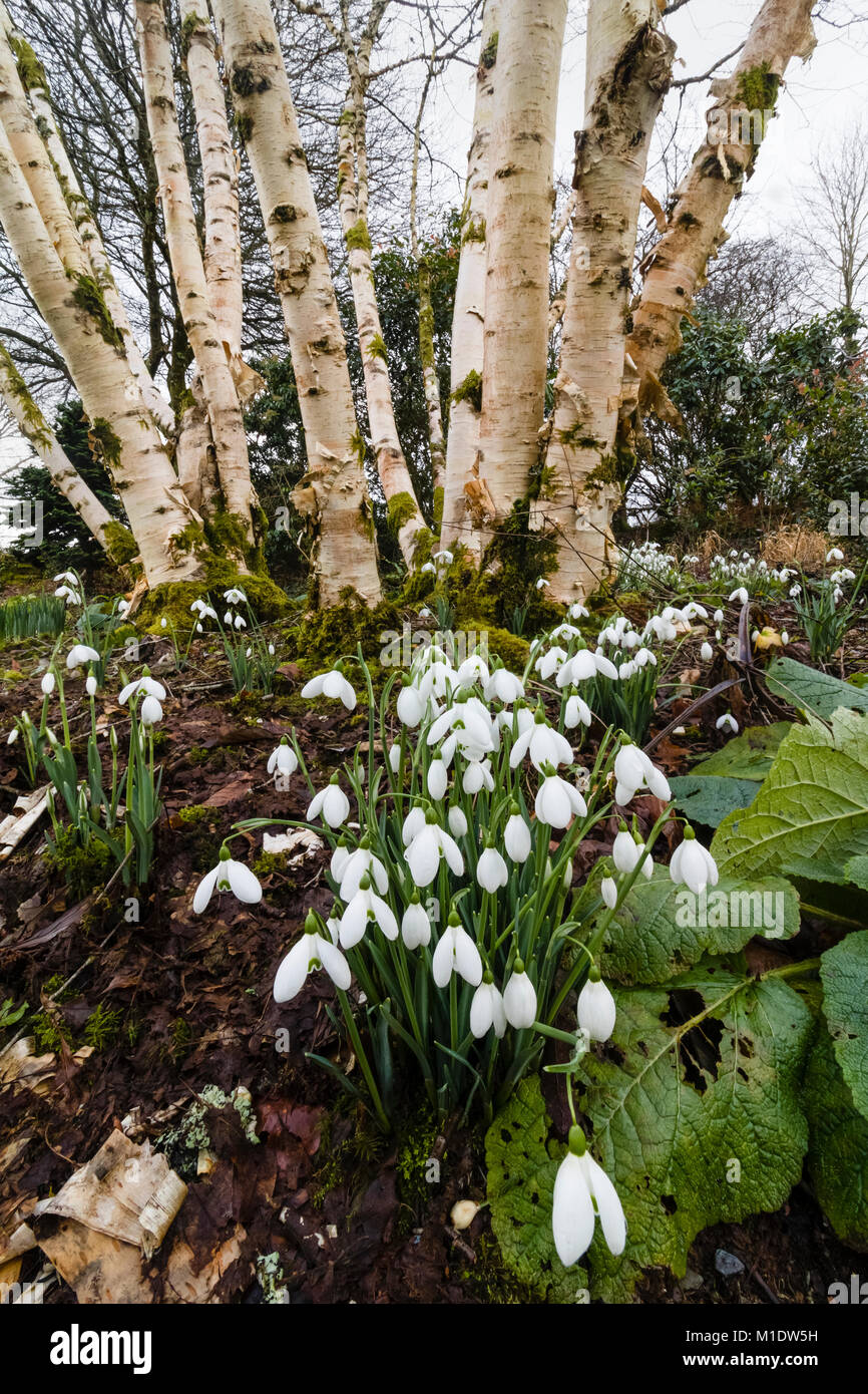 White winter flowers of the snowdrop Galanthus nivalis S. Arnott against a backdrop of Betula  'Fetisowii' - Stock Image