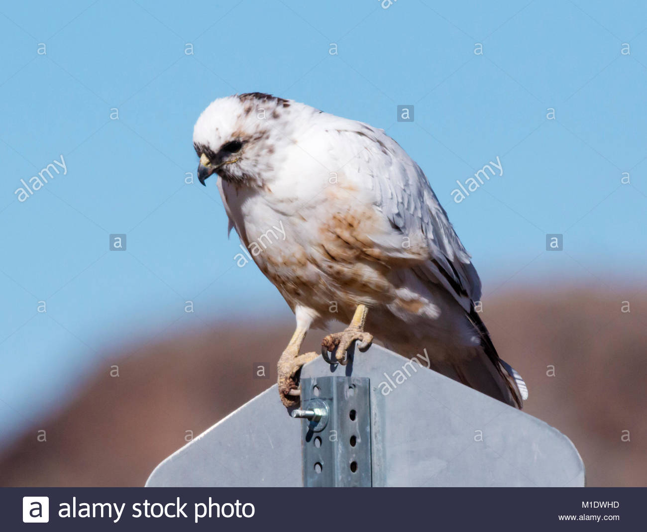 Leucistic Red-tailed Hawk, Buteo jamaicensis, perched on sign in  Arizona, USA - Stock Image