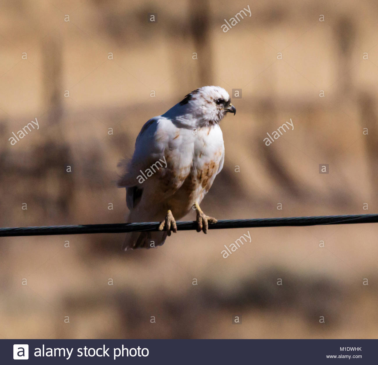 Leucistic Red-tailed Hawk, Buteo jamaicensis, perched on wire in  Arizona, USA - Stock Image