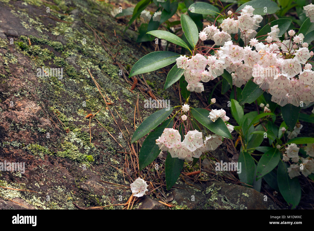 NORTH CAROLINA - Mountain laurel blooming along the edges of an exposed outcropping of biotite granite on the side - Stock Image
