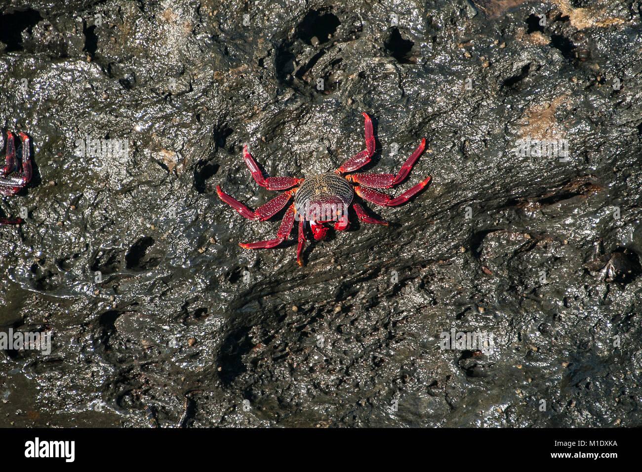 A red cliff crab on a rock on the coast near San Juan de la Rambla. - Stock Image