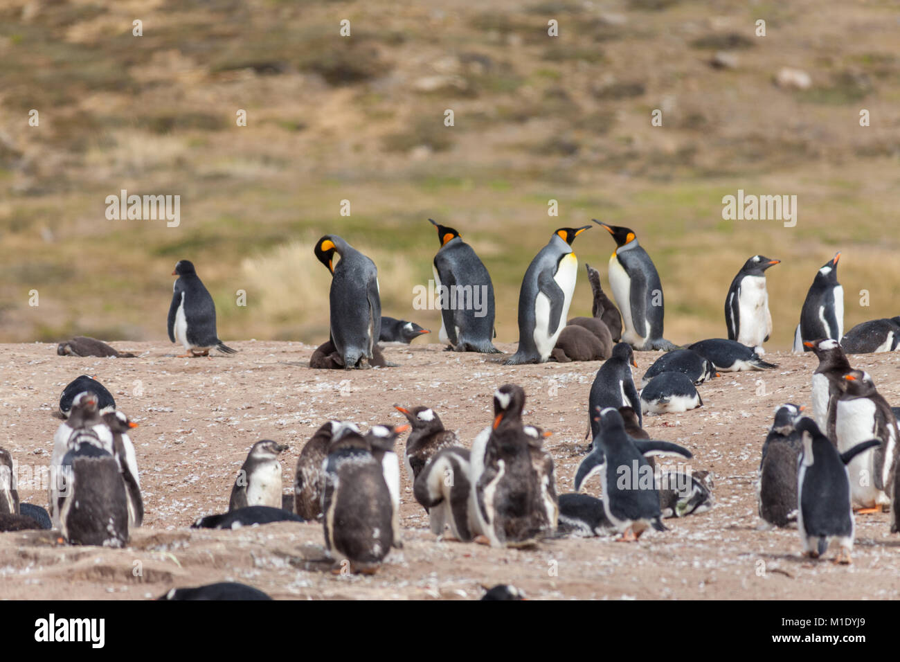Penguin Colony, Falkland Islands. King Penguins and Gentoo Penguins - Stock Image