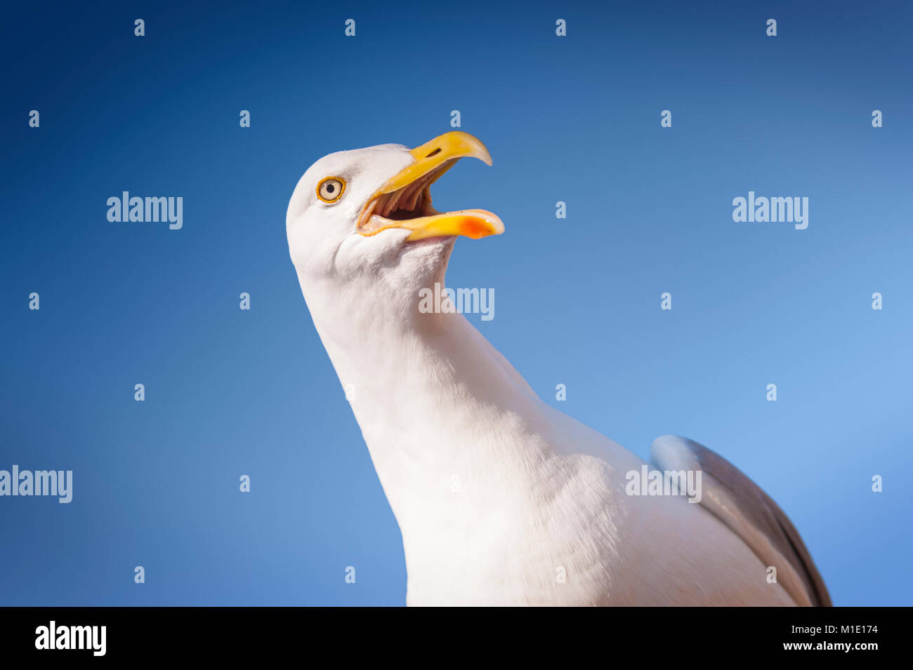 Angry Adult Seagull against Blue Sky. Brighton and Hove, East Sussex, UK - Stock Image