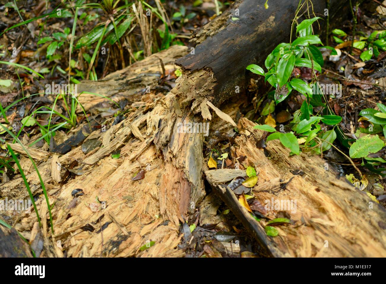 Rotting log broken apart by wild pigs, Paluma range national park, Queensland, Australia - Stock Image