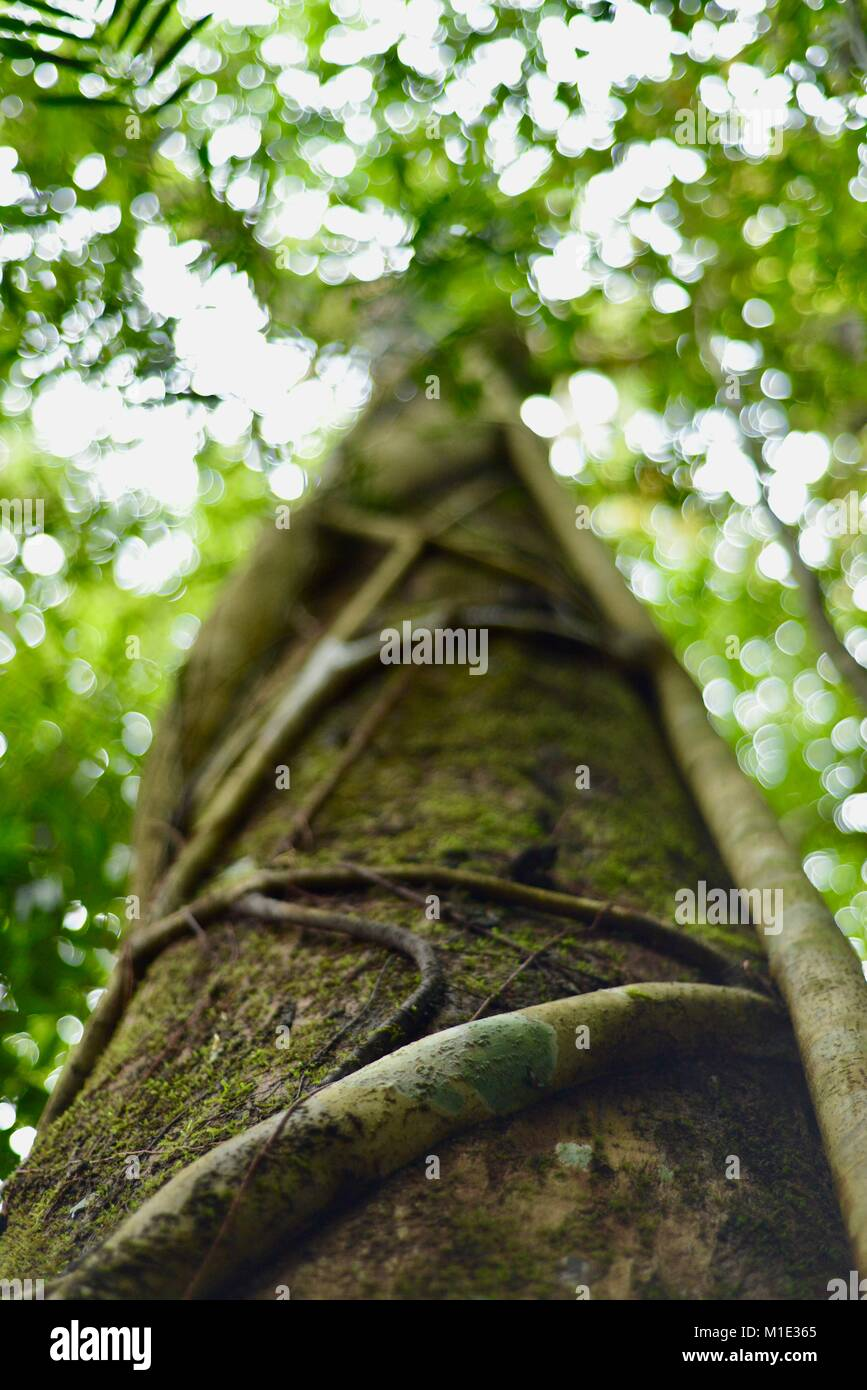 Tree trunk with fig tree climbing up, making an interesting natural pattern, Paluma, Queensland, Australia - Stock Image